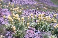 Des gentiannes jaunes en arrivant au Paletou