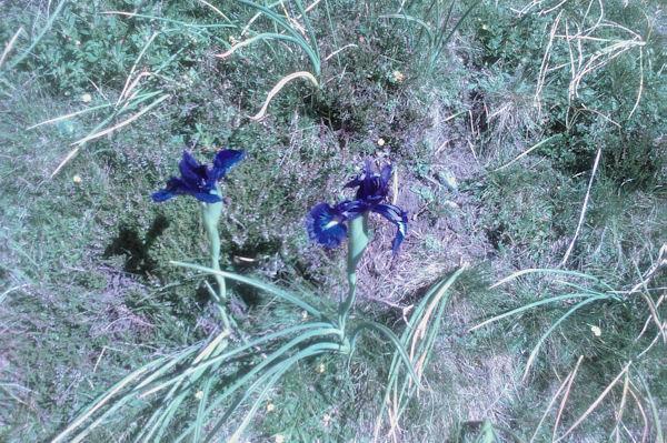 Des iris au dessus de Bouleste