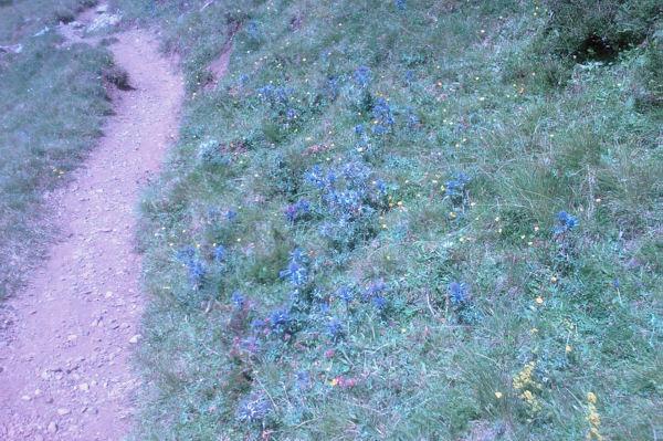 Des chardons bleus