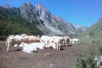 Des vaches en estive a Labas, au fond, le Petit et le Grand Arroubert