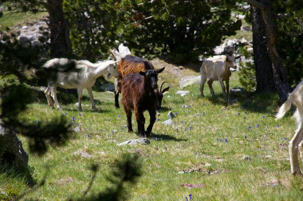 Quelques chèvres sur la pelouse truffée de gentianes