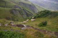 Les vaches du coin ont le pied pyreneen!