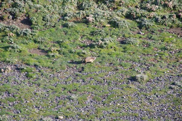 Une marmotte qui détale sous le Pic de la Pahule