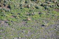 Une marmotte qui detale sous le Pic de la Pahule