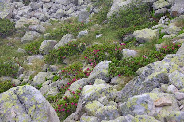 Quelques rhododendrons en fleur vers le Lac de Mounicot