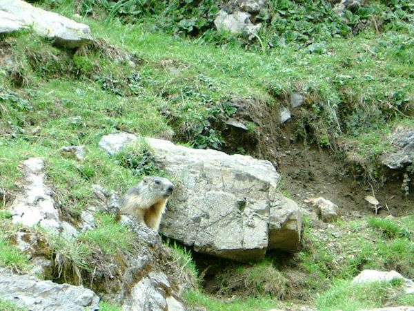 Une marmotte peu sauvage