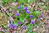 Qui veut ce bouquet de violettes!
