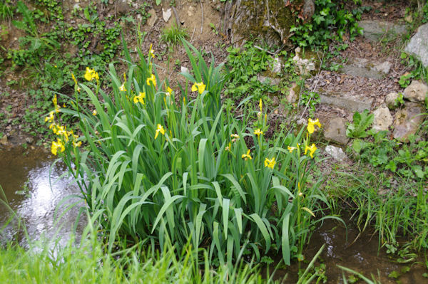 Iris jaunes dans le ruisseau de Raynal