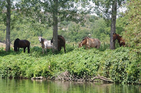 Des chevaux au bord du Célé vers Monteils