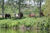 Des chevaux au bord du Cele vers Monteils