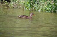Un canard vers Sauliac sur Cele