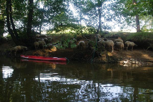 Des mouton au frais au bord du Célé vers Salsac