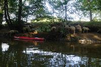 Des mouton au frais au bord du Cele vers Salsac