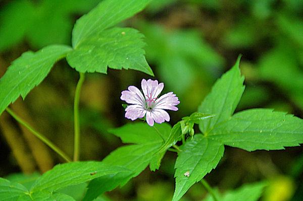 Jolie fleur dans la vallée de la Durencuse
