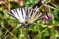 Joli machaon