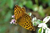 Joli papillon tircis