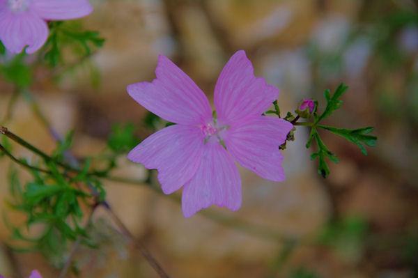 Belle fleur dans le Bois Communal d_Alquié