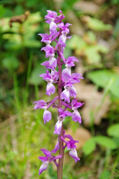 Une orchidée vers la centrale electrique dans la vallée du Sor
