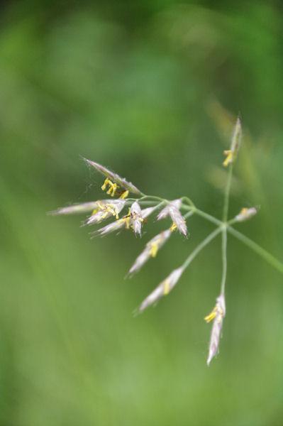 Graminnées en fleur