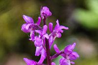 Belle orchidee vers La Dugarie