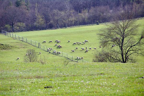 Des moutons vers La Ginibrière
