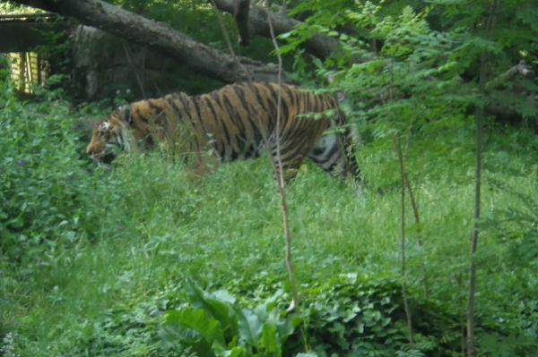Un joli tigre un peu à l_ennui