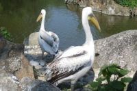 Deux pelicans