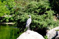 Heron aux aguets