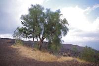 Les genets de l'Etna