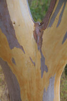 Couleur d'Eucalyptus