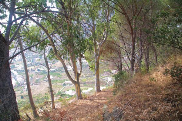 Une allée d_Eucalyptus