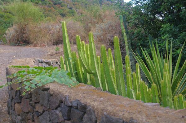 Cactus et capriers à Leni