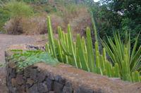 Cactus et capriers a Leni